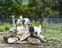 Cabras na pilha da rocha Fotos de Stock Royalty Free