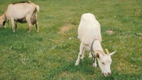 Cabras nacionales blancas en la granja Consumición de la hierba Tiempo de la alimentación almacen de video