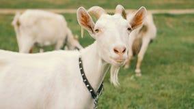 Cabras nacionales blancas que se colocan en la granja y la consumición almacen de metraje de vídeo