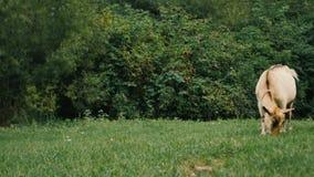Cabras nacionales blancas que se colocan en la granja y la consumición almacen de video