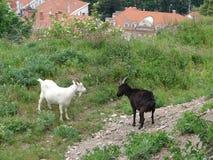 Cabras nas montanhas Imagens de Stock