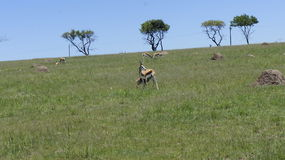 Cabras no campo, atrás das cabras as árvores verdes Fotos de Stock