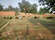 Cabras no campo para comer a grama fotos de stock