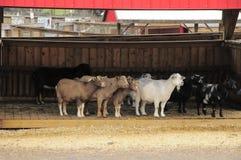 Cabras no celeiro Fotografia de Stock Royalty Free