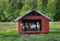 Cabras no celeiro vermelho pequeno foto de stock