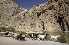 Cabras no fundo da montanha Fotografia de Stock