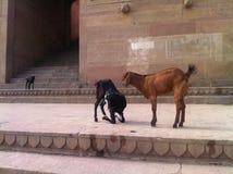 Cabras no Ghats do rio Ganges em Varanasi, Índia Foto de Stock