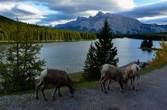 Cabras no lago Minnewanka fotografia de stock