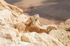 Cabras no selvagem Imagem de Stock Royalty Free