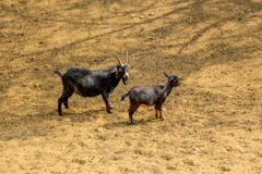 Cabras novas que andam no solo fotografia de stock royalty free