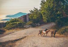 Cabras novas que cruzam a passagem em Montenegro fotografia de stock royalty free
