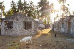Cabras pelas casas de pedra cercadas por palmeiras na vila de Jambiani em Zanzibar, Tanzânia no por do sol imagem de stock