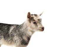 cabras pequenas isoladas Imagens de Stock