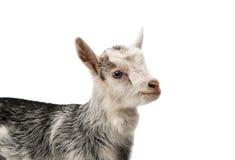 cabras pequenas isoladas Foto de Stock