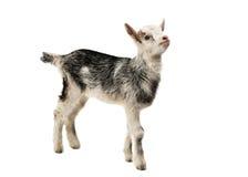 cabras pequenas isoladas Foto de Stock Royalty Free