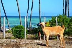 Cabras que buscan el mango, Zanzibar imagenes de archivo