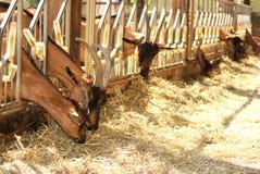 Cabras que comem o feno fotografia de stock royalty free