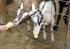 Cabras que comen conos de helado Imagenes de archivo
