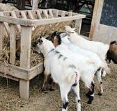 Cabras que comen el heno Foto de archivo