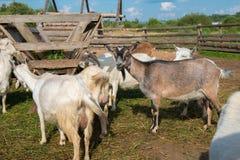 Cabras que comen la alimentación en una granja Fotografía de archivo
