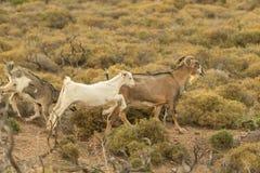 Cabras que corren hacia fuera en la naturaleza fotos de archivo