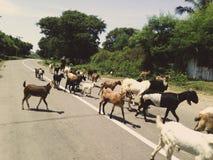 Cabras que cruzan la calle en Indonesia fotos de archivo