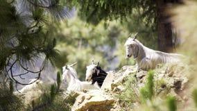 Cabras que descansam na floresta do pinho filme