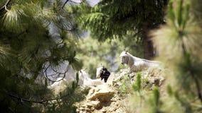 Cabras que descansam na inclinação de montanha vídeos de arquivo