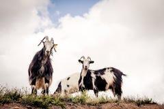 Cabras que miran abajo de un acantilado Foto de archivo