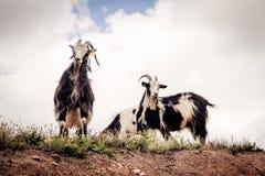 Cabras que miran abajo de un acantilado Imagenes de archivo