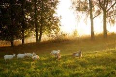 Cabras que miran en campo Foto de archivo