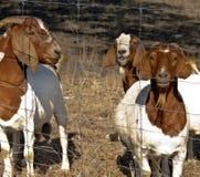 Cabras que miran en la cerca Imagen de archivo libre de regalías