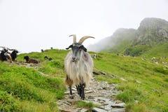 Cabras que pastam na montanha de Pyrenees fotografia de stock