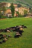 Cabras que pastam na vila   Fotos de Stock Royalty Free