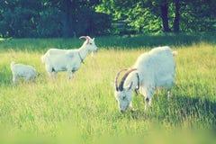 Cabras que pastan en el campo Imagen de archivo
