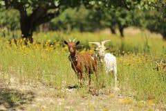 Cabras que pastan en el campo Imagen de archivo libre de regalías