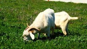 Cabras que pastan en un prado (4K) metrajes