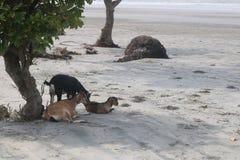 Cabras que relaxam sob a árvore fotografia de stock royalty free