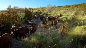 Cabras que van abajo de la montaña metrajes