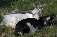 Cabras recién nacidas del bebé Fotos de archivo