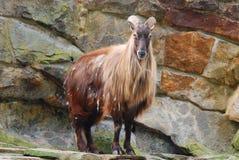 Cabras salvajes Imagen de archivo libre de regalías