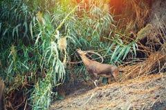 Cabras salvajes Foto de archivo