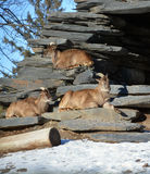 Cabras salvajes Fotos de archivo