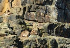 Cabras salvajes Imagen de archivo