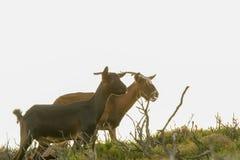Cabras salvajes contra el fondo blanco foto de archivo