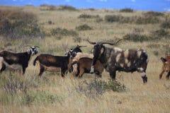 Cabras salvajes en la isla de pascua Fotos de archivo libres de regalías