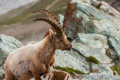 Cabras salvajes en la montaña Imagen de archivo libre de regalías