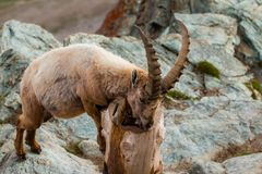 Cabras salvajes en la montaña Foto de archivo libre de regalías