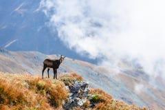 Cabras salvajes en las montañas Fotografía de archivo libre de regalías