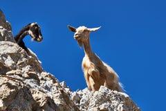 Cabras salvajes encima de los acantilados Fotografía de archivo libre de regalías